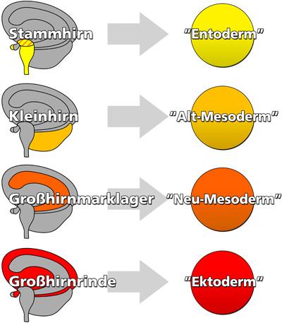 stammhirn ektoderm kleinhirn mesoderm marklager entoderm großhirnrinde