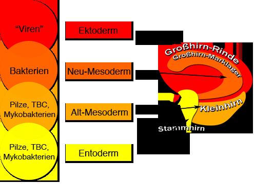 neue medizin 4 biologisches naturgesetz mikroben ontogenetisches system